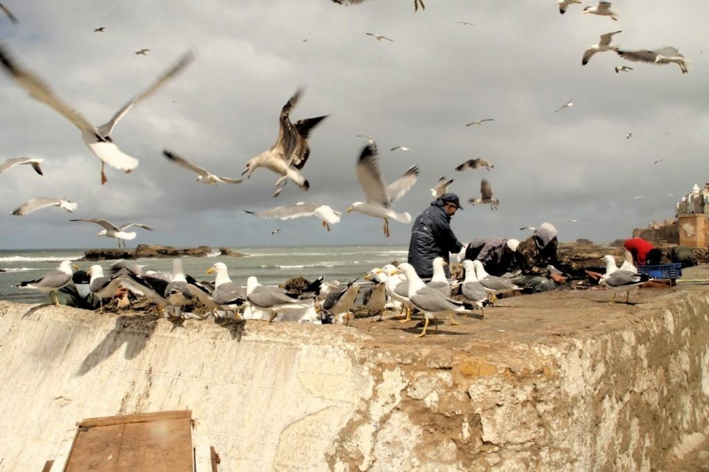 Dresden Dakar Banjul in Essaouira, Möwen auf der Jagd nach Fischresten