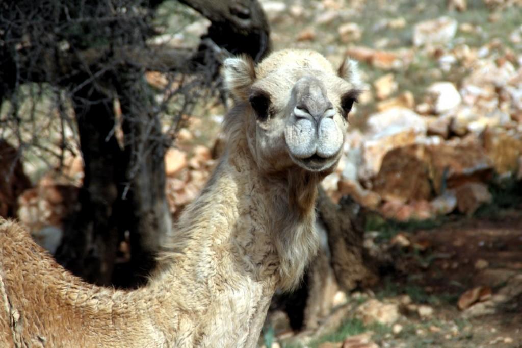 Erste Kamele am Straßenrand zwischen Agadir und Guelmin