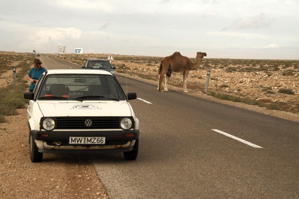 Die Kamele werden häufiger