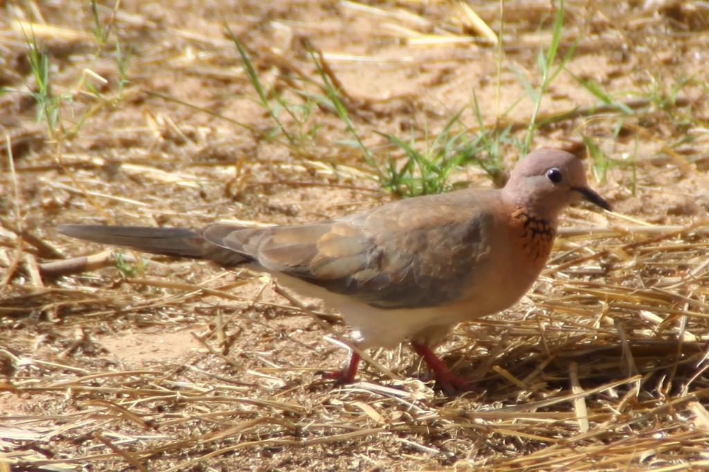 Palmtaube, Spilopelia senegalensis, Laughing dove, in Nouakchott
