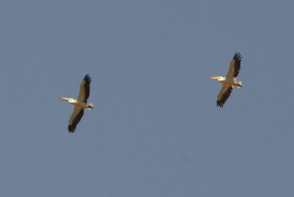 Pelikane über dem Senegal-Fluss