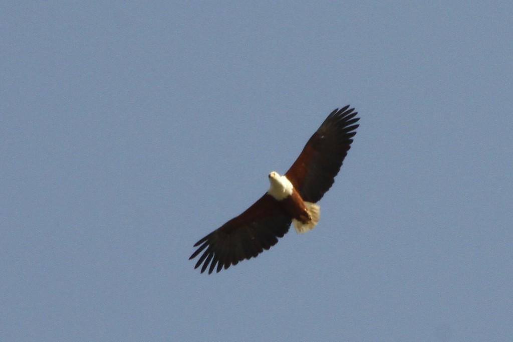 Schreisseadler, African fish eagle, Haliaeetus vocifer am Senegalfluss