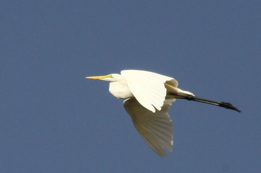 Silberreiher, Casmerodius albus, Great Egret am Senegalfluss