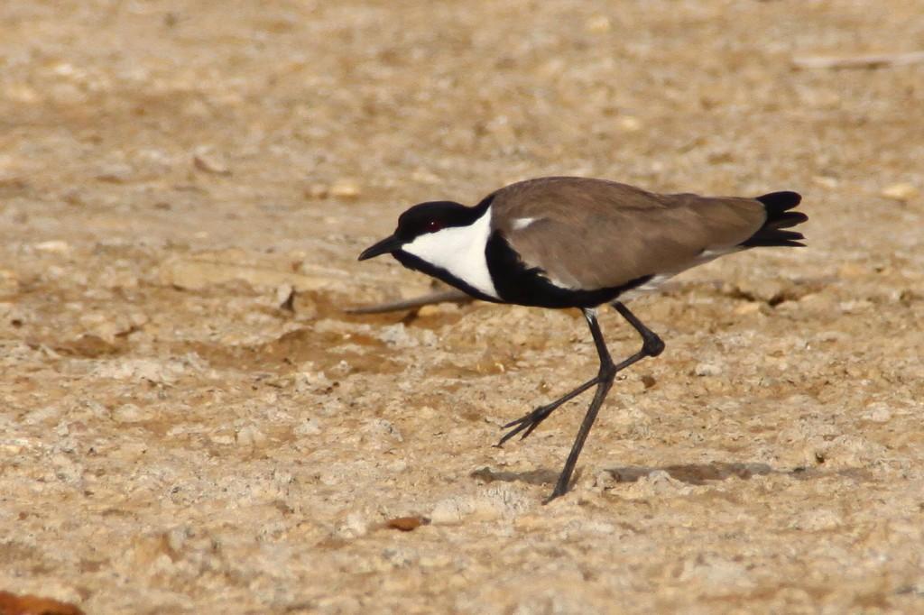 Spornkiebitz, Vanellus spinosus, Spur-winged Lapwing, diama Senegal