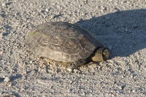 Eine Schildkröte kreuzt unseren Rückweg