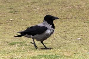 Nebelkrähe, Corvus corone cornix, Hooded Crow in Ceasarea