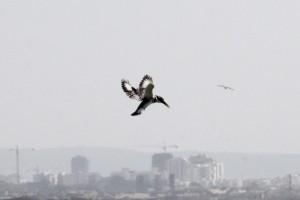 Graufischer, ped Kingfisher, Ceryle rudis am Hafen von Akko akko / acre
