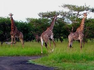 Albert falls campsite giraffe
