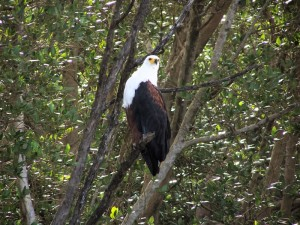 The African Fish Eagle Haliaeetus vocifer