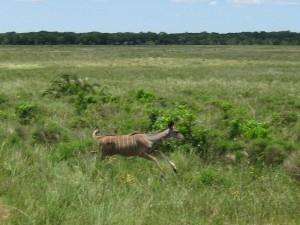 springing antelope near cape vidal