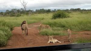 Löwen im Hlane NP Swasiland