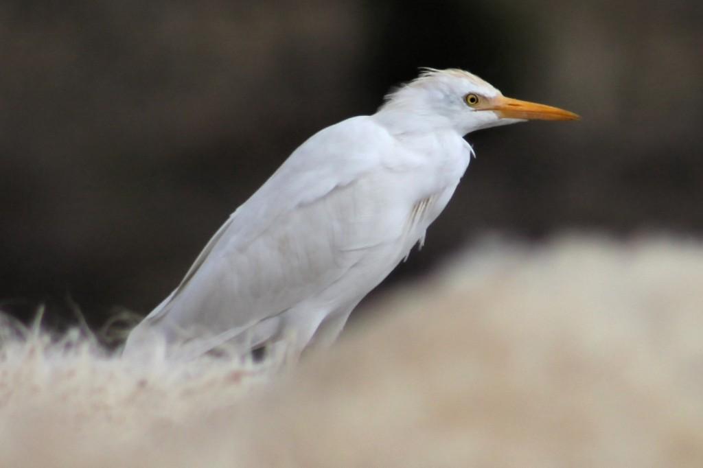Kuhreiher cattle egret (Bubulcus ibis)