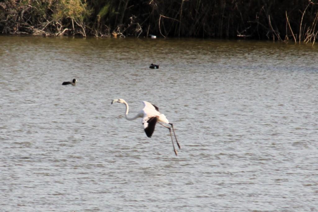 Flamingos auf dem Oroklini Salzsee