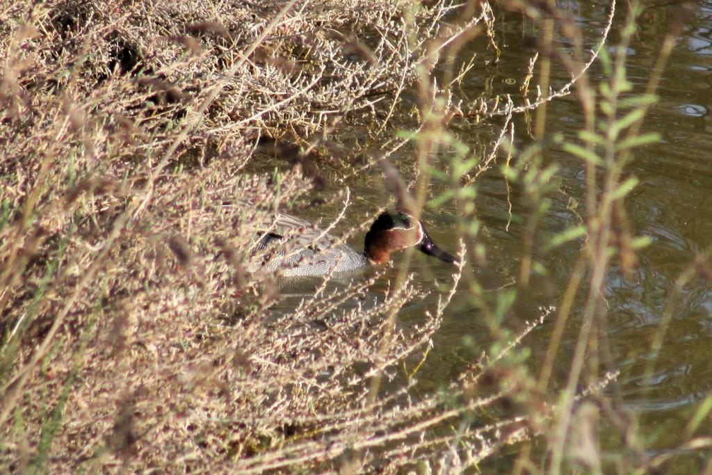 Krickente Eurasian teal  (Anas crecca)