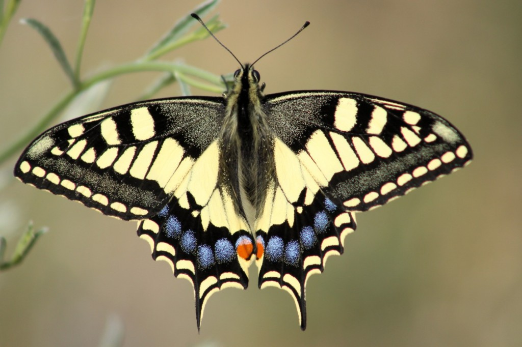 Schwalbenschwanz, Old World swallowtail (Papilio machaon)