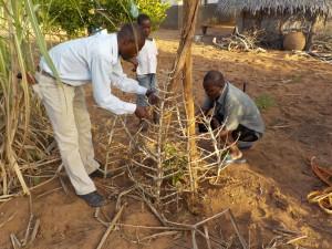 Ziegenfraßschutz für den Mangobaum