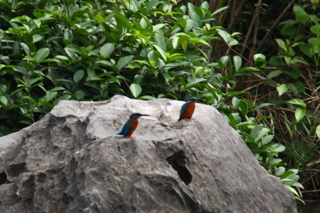 Eisvogel Tràng An Vietnam