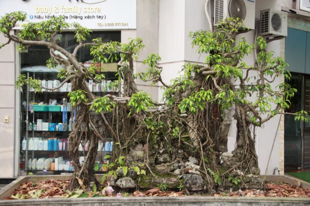 Bonsai in Hải Dương, Vietnam