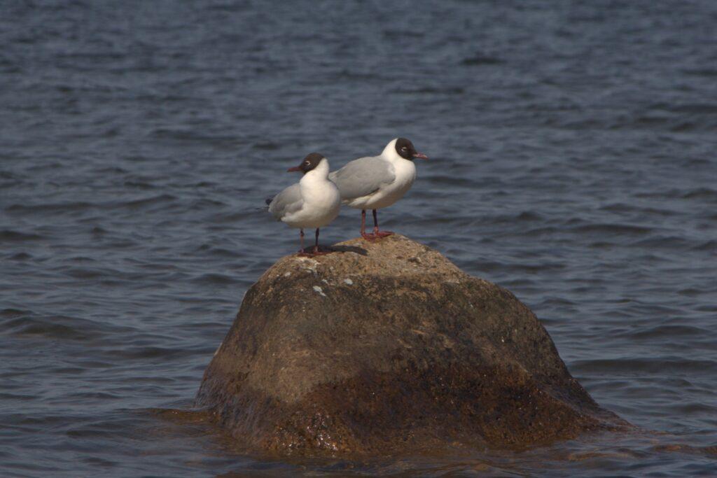Lachmöwen, nicht  am Hornborgasjön