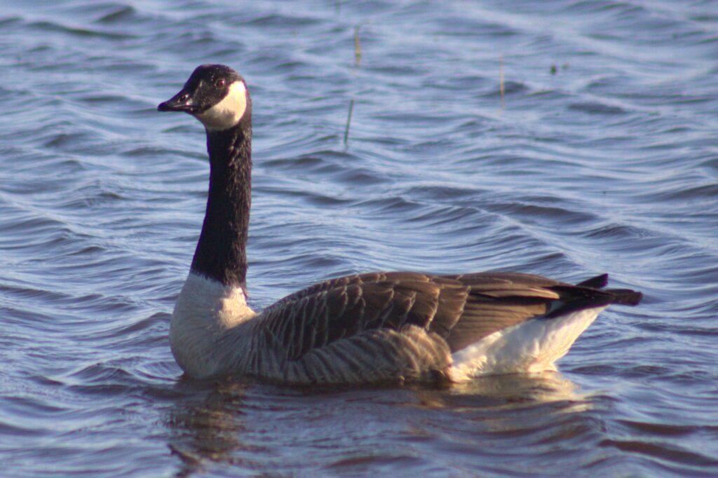Kanadagans am Hornborgasjön